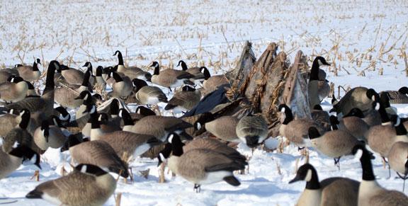 Canada Goose Hunt